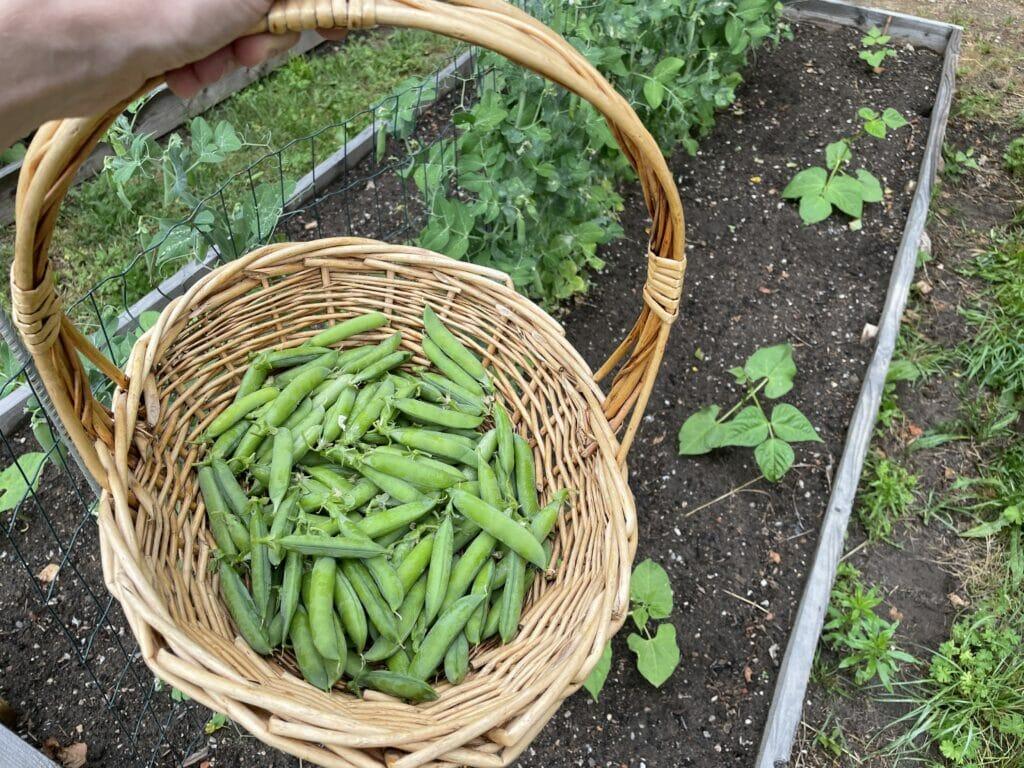 høst ærter friske ært dyrkning