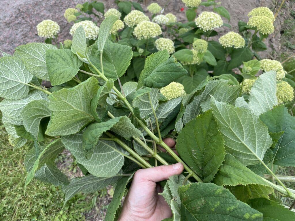 hortensia formering dyrkning
