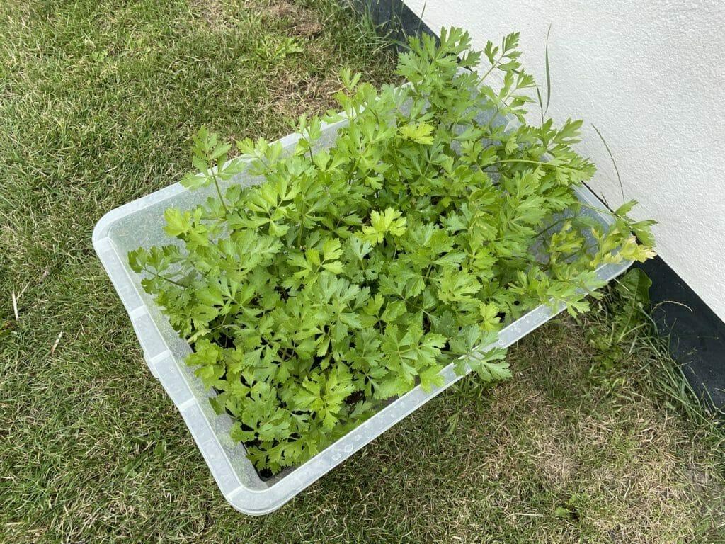 knoldselleri dyrkning plantning forspiring