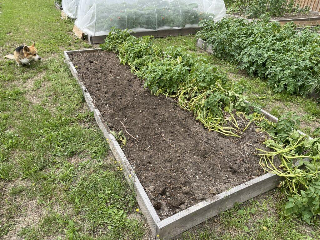 kartofler efterafgrøde anden afgrøde køkkenhave