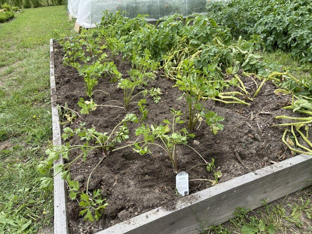 udplantning af knoldselleri dyrkning forspiring køkkenhave