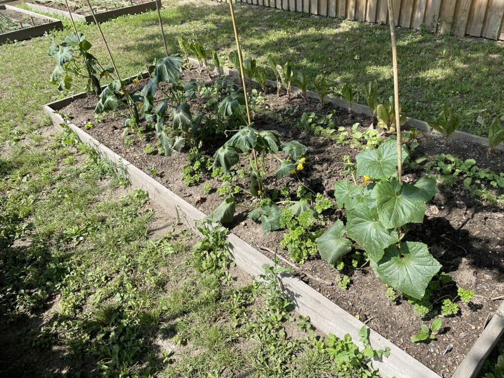 asier dyrkning efterafgrøder optimering udbytte køkkenhave