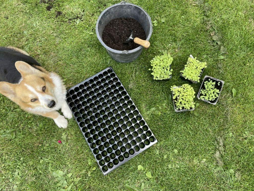 dyrkning såning forspiring prikling stedmoderblomster