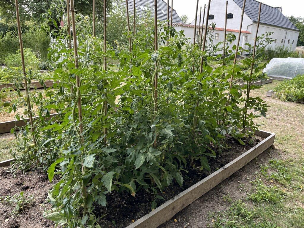 dyrkning tomater friland tomat